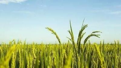 2019年10月23日 水稻价格行情