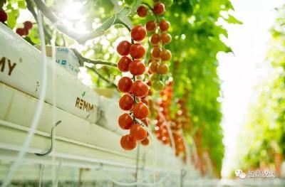 高产串番茄是如何种植的?