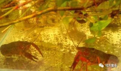 虾蟹池塘套养鳜鱼?注意,可能有以下危害