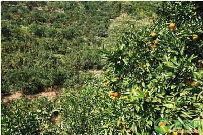 柑橘园土壤种植要求及注意事项