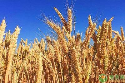 小麦要想高产,应该如何正确浇水?