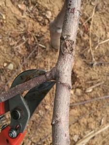 果树修剪只需3分钟,水平高低立见分晓!