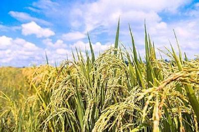 2019年10月21日 水稻价格行情
