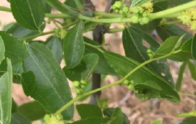 【枣树】冬枣种植管理中误区多,避免了才能挣的多