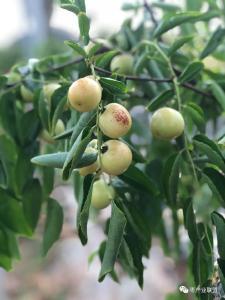 【枣树】枣树也需搞秋剪!带叶修剪,改善树冠风光条件