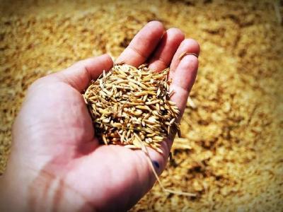 2019年10月16日 水稻价格行情