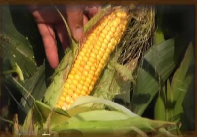 玉米市场供需格局或已再度逆转