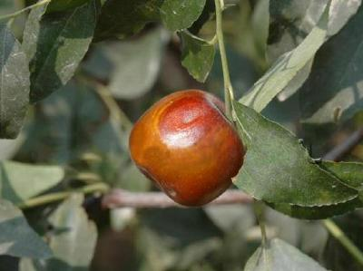 【枣树】枣树黑腐病及其防治方法来了!阴雨连绵或昼晴夜雨发病重