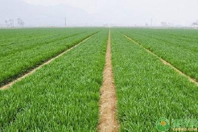 小麦播种太晚怎么办?做好这三点照样产量高!