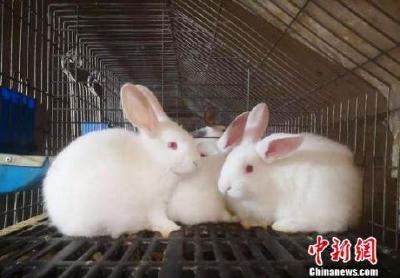 """甘肃镇原废弃窑洞""""变废为宝"""":小兔子""""蹦""""出大产业"""