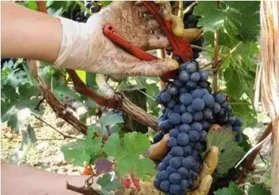 葡萄采后管理到底什么样才是合理、规范、科学的
