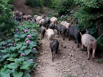 猪养得好、卖得好,3个生态养猪法送给你!