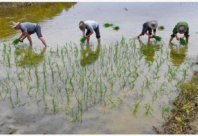 水稻的种植方式有很多种,优缺点是什么?