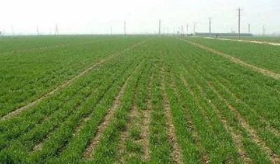 小麦冬前要注意控旺,小麦控旺原因以及解决办法