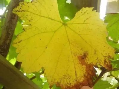 【葡萄】微量元素对葡萄的重要性,千万不要忽视