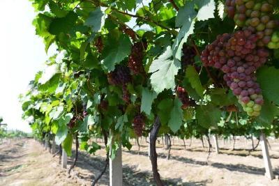 【葡萄】种葡萄这13个雷区千万别踩,与来年花序、果实质量、病虫害等有100%的关系!