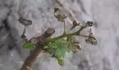 需求量仅次于钾、氮!葡萄怎么补钙效果才好