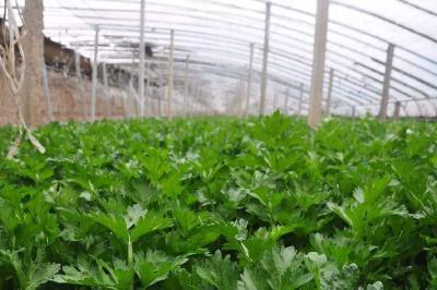 冬季大棚芹菜种植技术,冬季大棚芹菜如何管理