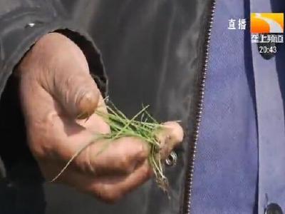 垄上农学院:小麦田里长草 怎么都杀不死