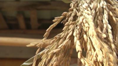 12月27日最新水稻、玉米行情