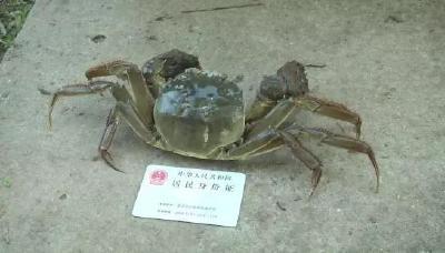 """体格好、块头大,一只公蟹半斤多!本土河蟹如何养出""""大块头""""?"""
