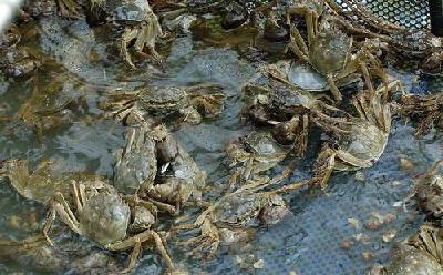 """从小蟹到大蟹到好蟹 看汉川河蟹如何华丽蜕变实现""""三级跳"""""""