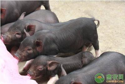 入冬后小猪养殖要注意什么?做好这几点安全过冬不用愁!