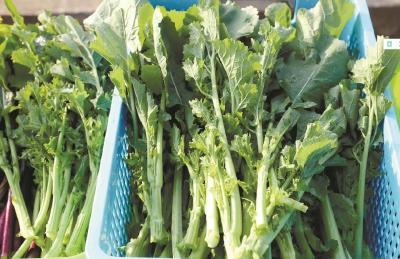 湖北科研团队研发出全球首个硒高效蔬菜杂交种
