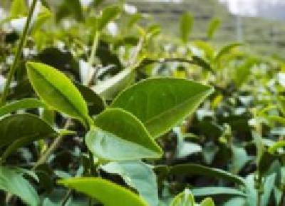 我国茶园面积及茶叶年产量稳居世界第一