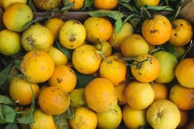 今年柑橘或扎堆上市,价格是迷,务必提高警惕!