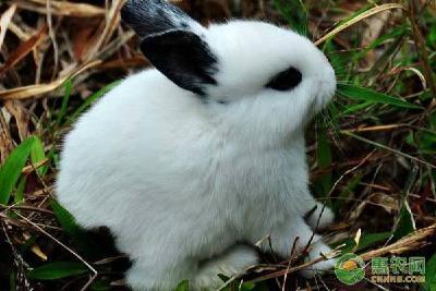 熊猫幼兔应该怎么养?熊猫兔怎么分公母?