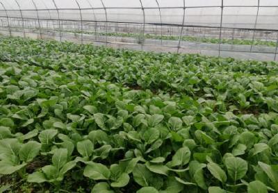 小蔬菜托起山区大扶贫