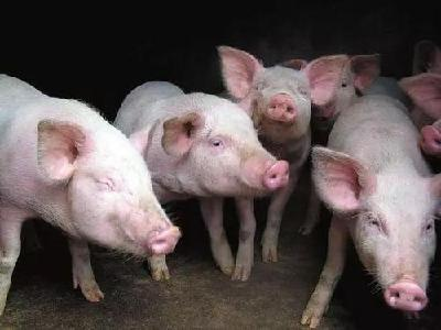 不如去养猪!千亿