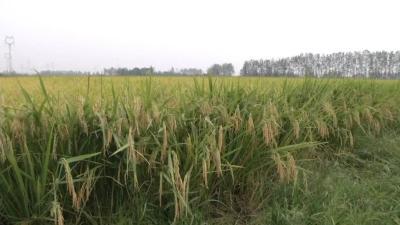 2019年11月14日 水稻价格行情