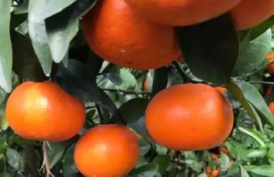 柑橘秋梢期磷酸二氢钾如何用效果好?使用不当,可能会有反作用