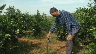 粘嘴脐橙甜度高,临湖小果园1300棵树一年赚50多万元!几个条件种好果