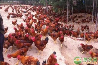 农村散养土鸡需要注意什么?看完这篇文章涨知识!