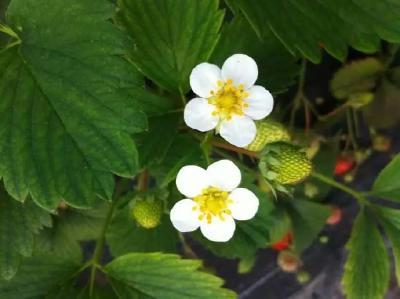 草莓花期敏感且关键,该如何妥善管理?