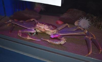 世界最贵螃蟹被做成800万日元套餐 厨师感叹:一生一次啊