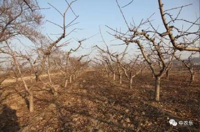 桃树冬剪怎样识别树势强弱?