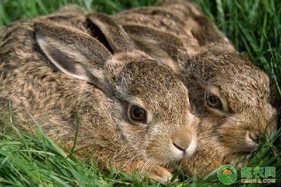 农村养殖兔子有什么禁忌?农民朋友要记清楚!