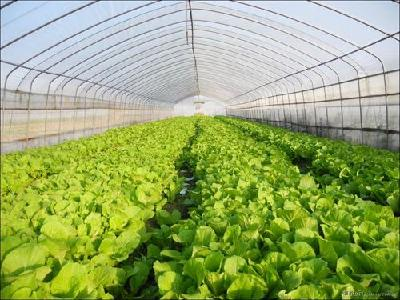 荆州区弥市镇:反季蔬菜长势喜人 产业扶贫见成效