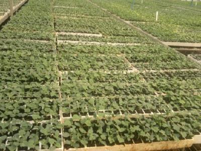 蔬菜倒苗原因及防治方法!保证植株的生长