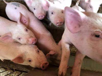 生态环境部已派工作组赴200生猪养殖大县,严查禁养区划定