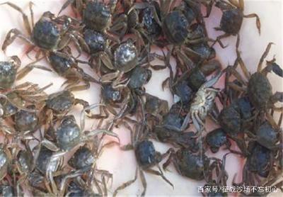 河蟹的养殖:如何在大棚中养殖河蟹?