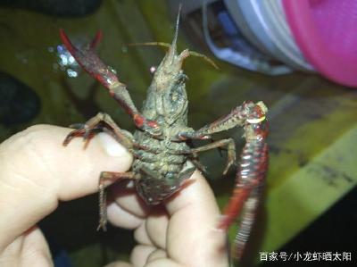冬季小龙虾在水里活动不进洞,如何给小龙虾增加活动空间过冬?