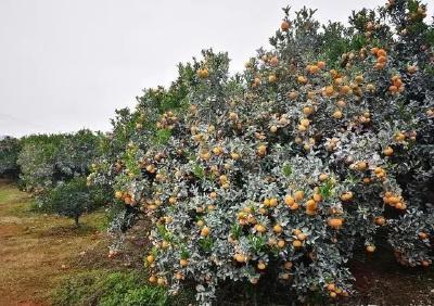 种好柑橘,这9个问题你必须知道(下)
