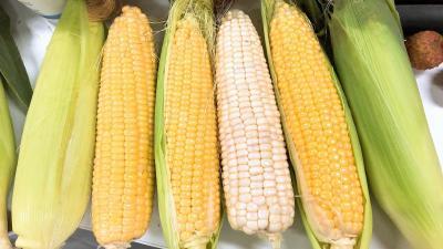 好种种好粮!又到购买玉米种子季,这些坑你掉过吗?