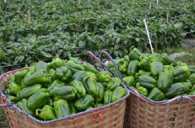无公害蔬菜俏销四方 荆州区李埠镇因户施策助力脱贫