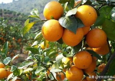 以为埋头种柑橘就能发财致富?不了解市场的果农势必会被时代抛弃